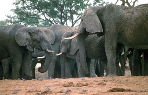 Meeting of elephants in Chobe NP, Botswana