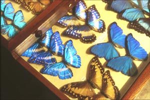Butterflies collected from forest canopy