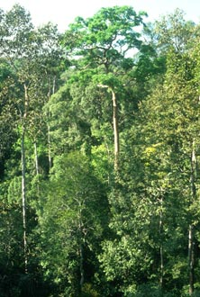 Tropical Rain Forest in central Malaysia