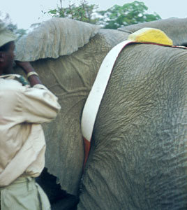 Radio transmitter being attached to bull elephant